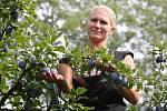 V Držovicích na Litoměřicku začali zemědělci s česáním oblíbených švestek a téměř zapomenutých rynglí.