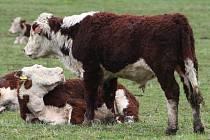 Jedinou výhodou ze zrušení mléčných kvót je pro chovatele krav volnost v produkci. Rozšíření stáda je otázkou několika let. Zemědělci nyní čekají, jakou podporu jim nabídne stát.