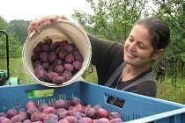 První metrické centy tří odrůd švestek stačil od minulého pátku sklidit Jaroslav Boček z Držovic, ruku k dílu přidala i Marcela Jirešová.