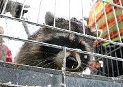 Po Roudnici pobíhal medvídek mýval