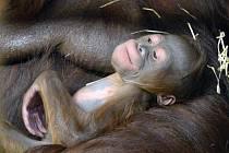 V ústecké zoo se narodilo mládě orangutana bornejského