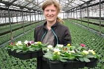 Po brambořících, které skleníky z Travčic na Litoměřicku zásobovaly trh na rozmezí starého a nového roku, rozevřely poupata i primule.