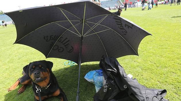 MAJITELÉ ROTTWEILERŮ v Roudnici předvedli své psí miláčky. Do soutěže se zapojilo na 350 krasavců tohoto plemene.