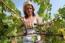 Sklizeň prvních letošních hroznů na burčák začala také na Litoměřicku a Podřipsku. V pondělí sklízeli například u Žalhostic hrozny odrůdy Müller Thurgau.