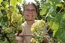 ŘEDITELKA Lobkowiczkého zámeckého vinařství Hana Líbalová při první letošní sklizni odrůdy Müller Thurgau na vinici pod Sovicí, která je nejlepší polohou roudnického vinařství.