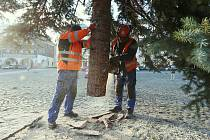 Pracovníci technických služeb v pondělí dopoledne postavili na Mírovém náměstí v Litoměřicích vánoční strom, který vyrostl přímo ve městě.