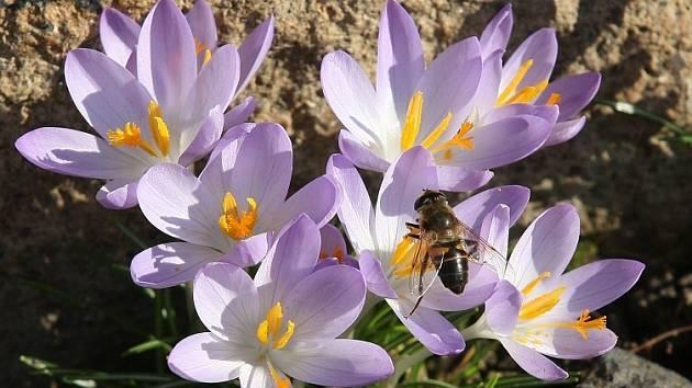 KONEC března? Duben? Ne. 22. únor. Rozkvetlé krokusy a probuzené včely se fotoreportérovi Deníku Karlu Pechovi podařilo zachytit v neděli odpoledne u Třebenic.