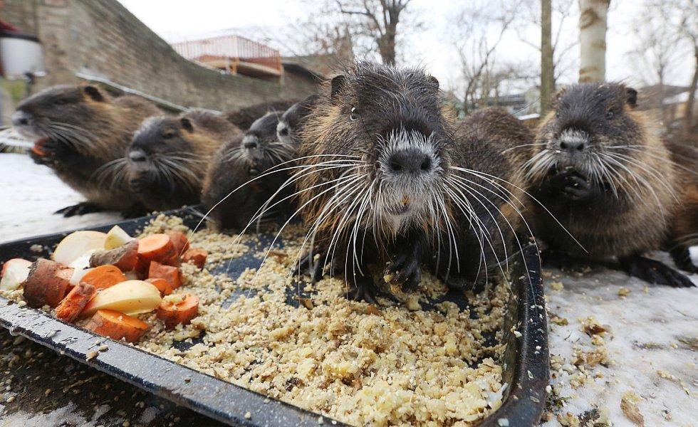 Na malý rybník v Chodovlicích se nastěhovala rodinka 11 nutrií