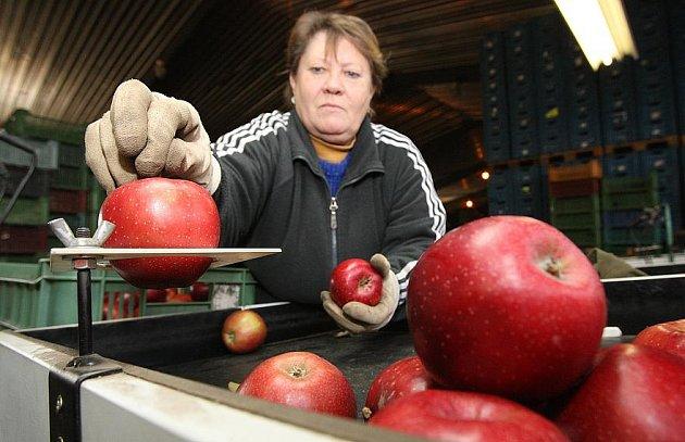 Práce s jablky v Klapém.