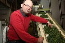 ČÁST PRODUKCE ŠPENÁTU od pěstitelů z regionu se zpracovává sušením ve společnosti Severofrukt Travčice, která ho ročně zpracuje zhruba 700 tun.  Sušený špenát se používá  do zeleninových směsí, jako moučka například k barvení těstovin.