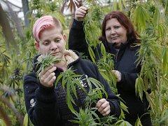 Alena Vachtlová (krátké vlasy) a Lenka Berešová sklízejí ve skleníkách firmy Severofrukt Travčice technické konopí.