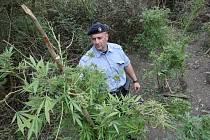 Nedaleko Kololeče v křovinách bylo nalezeno deset vzrostlých rostlin konopí.