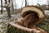 Dálší kácení stromů v lesoparku Osmička v Lovosicích.