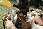 Ovce a kozy se vrátily na Bílé stráně
