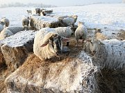 Ovce na pastvinách u Lbína.