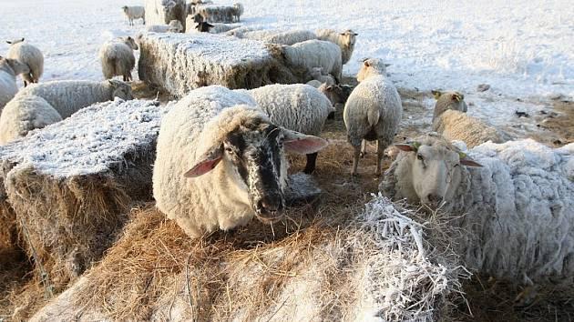 Lbínské stádo ovcí.