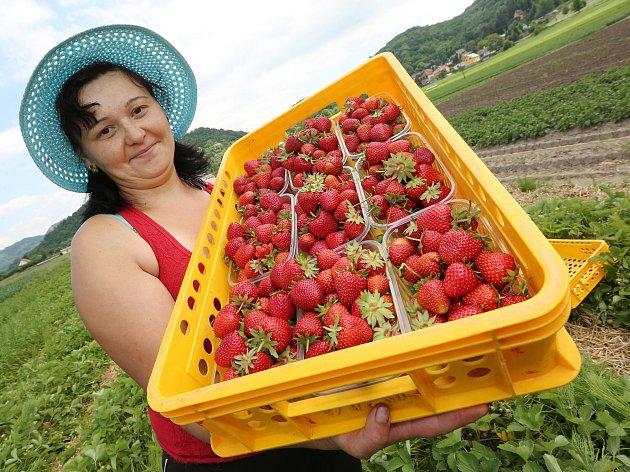Sběr jahod, ilustrační foto.