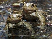 Migrující žabí populaci zachraňují dobrovolníci na třech místech Litoměřicka. Jedním z nich je Roman Vlček, který postupně vybírá žáby ze zátarasů a přenáší je do místního rybníka.