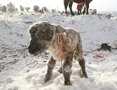 Trpící zvířata na pastvinách u Lbína.