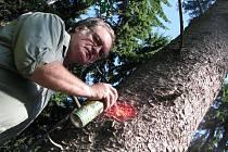 OZNAČOVÁNÍ. Revírník Lesů ČR Jiří Fritz označuje strom napadený kůrovci nedaleko Děkovky. Do pěti dnů musí být napadený strom vytěžen a odvezen z lesa.