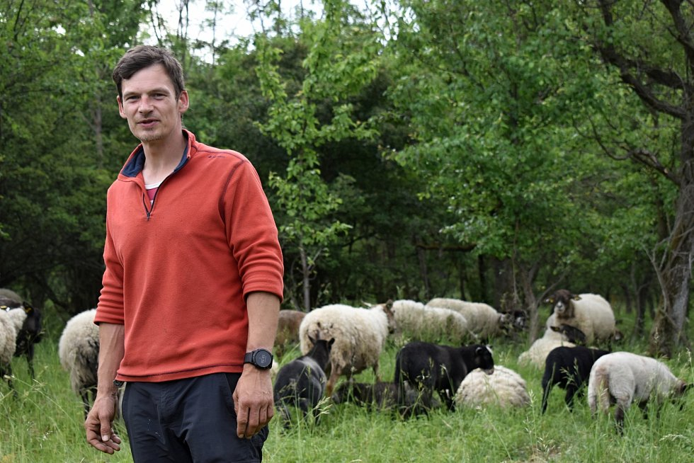 Ajťák David Vedra pase ovce pod Košťálovem