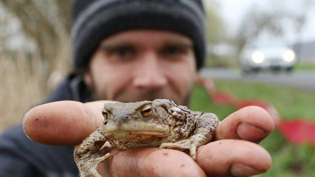 Roman Vlček ze spolku Bufo přenáší žáby od zábran do rybníka