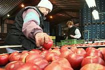 Třídění jablek v Klapém.
