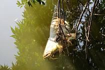 ÚHYN RYB na Labi v Litoměřicích. Mezi uhynulými kusy, které rybáři v řece našli v tomto týdnu, byli nejčastěji sumci.