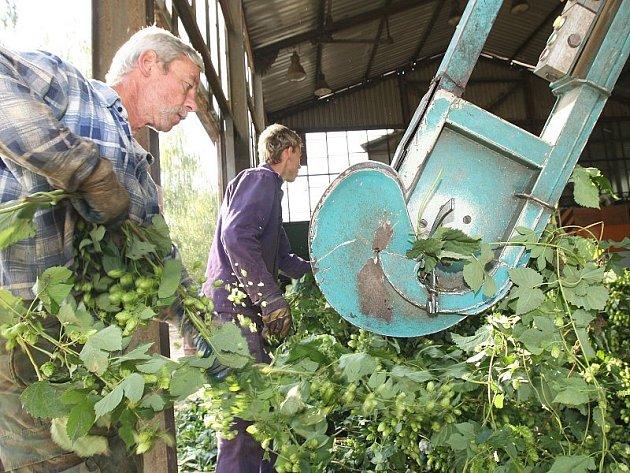 NA ČESAČCE. Na Litoměřicku se rozjela naplno sklizeň chmele. Pěstitelé zatím hodnotí úrodu slušně. Ve srovnání s loňským rokem  je podle nich rozhodně lepší. Na snímku je Luboš Derink při zavěšování chmelových štoků na česačce v Oknech.