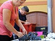 Příprava maxihroznu pro žernosecké vinobraní