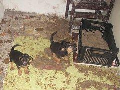 DALŠÍ NEPĚKNÝ POHLED na nevyhovující chov psů se naskytl pracovníkům krajské veterinární správy. Ti přijeli na zavolání sousedky muže, který ve sklepě přechovával čtyři malá  štěňata.