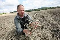 Předseda představenstva ZD Liběšice Václav Grindler ukazuje na poničeném poli u Horních Řepčic klasy pšenice, které poškodily víkendové bouřky.
