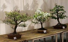 Libochovice, státní zámek, tradiční výstava bonsají