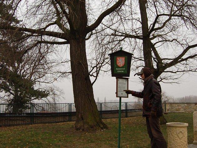 I v zimních měsících lákají památné stromy k návštěvě. Ve čtvrtek jinany dvoulaločné u Hospicu sv. Štěpána v Litoměřicích navštívil i Pavel Groh z Litoměřic.