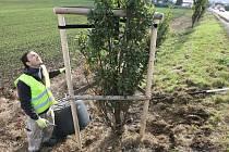 První větší udržovací zásah stromů od loňské povodně mohli ve čtvrtek sledovat řidiči, kteří projížděli alejí mezi Litoměřicemi a terezínskou křižovatkou.