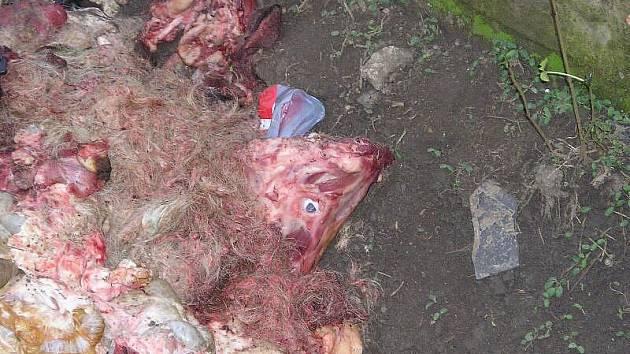 VNITŘNOSTI, kosti a další odpad je jistě z několika prasat. Co je skryto pod navážkou zeminy, nikdo neví.