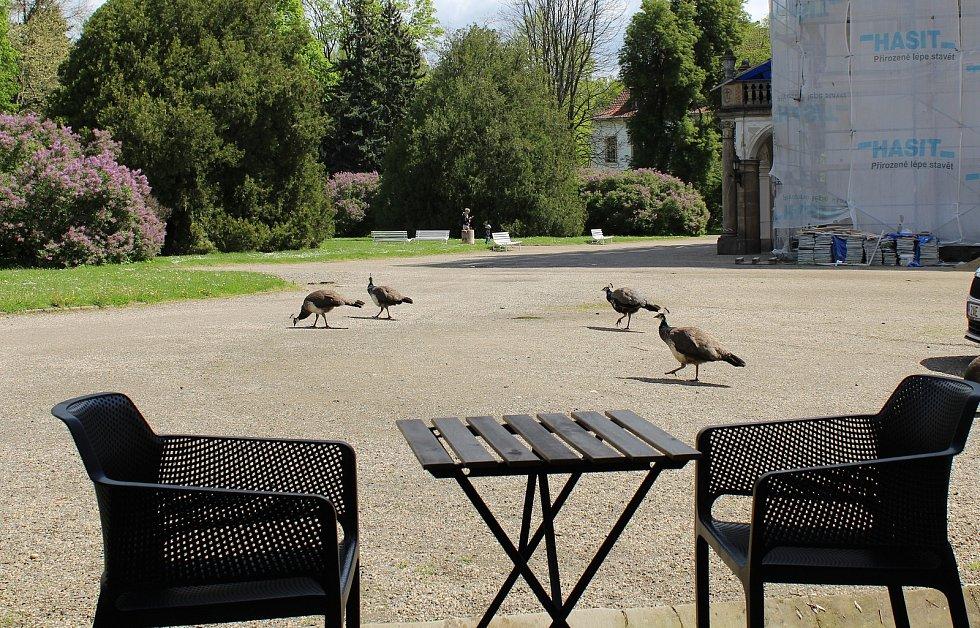I když je zámek v Ploskovicích kvůli vládním opatřením pro veřejnost uzavřený, mohou lidé zavítat alespoň do přilehlého parku. Obdivovat tu mohou například pávy nebo posedět na zahrádce zámecké kavárny.