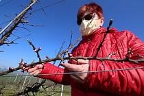 Třídenní mráz poškodil na Litoměřicku sadařům ovocné stromy