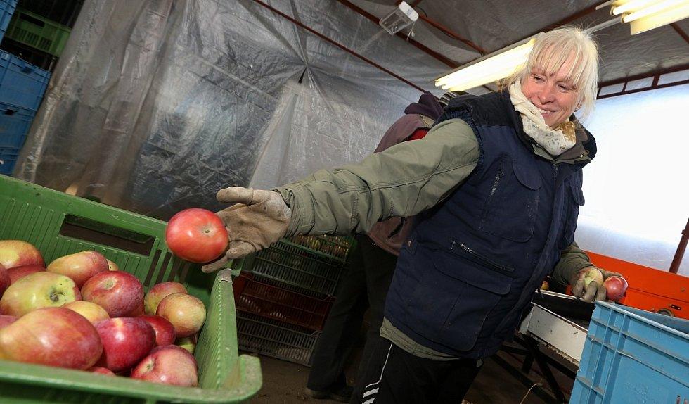 Pracovníci zemědělského družstva Klapý na Litoměřicku třídí jablka z vlastní sklizně pro vánoční trh.