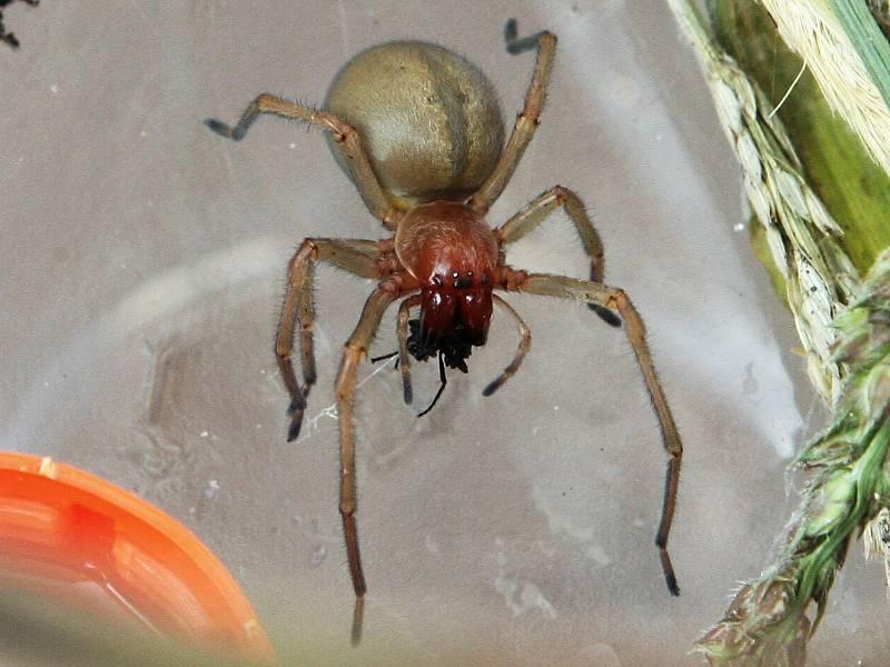 Notoricky známým pavoukem se stala také zápřednice jedovatá, nejjedovatější pavouk v Česku, který se k nám dostal z jižní Evropy.
