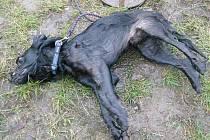 Utýraný pes.