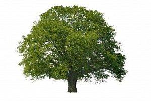 KELTSKÝ HOROSKOP: Tajemství stromů