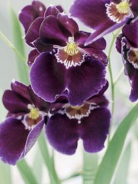 Magické orchideje
