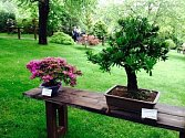 Do neděle na bonsaje