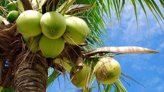 Kokosové ořechy. Luxusní potravina budoucnosti?