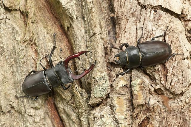 Brouk roháč obecný je vřadě zemí Evropy chráněný druh, ale přesto mizí proto, že jsou likvidovány staré stromy a pařezy, vnichž se vyvíjí
