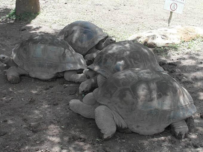 Obří želvy žily původně i na Mauriciu, ale postihl je stejný osud jako doda. Tyhle jsou dovezeny ze Seychelských ostrovů.