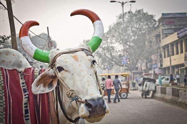 Ochrana krav je vIndii pro Módího vládu prioritou.