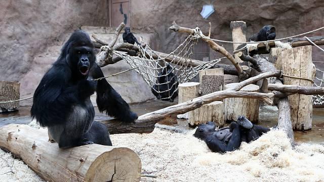 Jedním z velkých chovatelských úspěchů Zoo Praha je rozrůstající se gorilí rodinka.