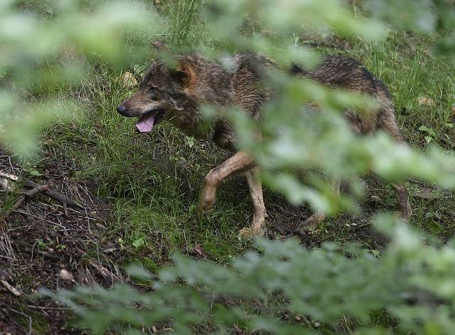 Vlk iberský
